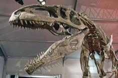 Giganotosaurus had sterke kaken maar kon toch veel minder hard bijten dan Tyrannosaurus//File:Giganotosaurus carolinii DSC Skeleton replica of a Giganotosaurus carolinii Dinosaur Pictures, Dinosaur Skeleton, Prehistoric Creatures, Prehistoric Age, Spinosaurus, Extinct Animals, Dinosaur Fossils, Jurassic World, Jurassic Park