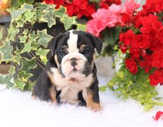 🎀😀What a #Perfect little rolly polly #EnglishBulldog puppy! Beauty is the perfect name for this outstanding #FamilyPet and loving companion. Isn't this little gal just beautiful!?💗 #Charming #PinterestPuppies #PuppiesOfPinterest #Puppy #Puppies #Pups #Pup #Funloving #Sweet #PuppyLove #Cute #Cuddly #Adorable #ForTheLoveOfADog #MansBestFriend #Animals #Dog #Pet #Pets #ChildrenFriendly #PuppyandChildren #ChildandPuppy #LancasterPuppies www.LancasterPuppies.com Black English Bulldog, Mini English Bulldogs, Bulldog Puppies For Sale, English Bulldog Puppies, Lancaster Puppies, Blue Merle, Animals Dog, Mans Best Friend, Puppy Love