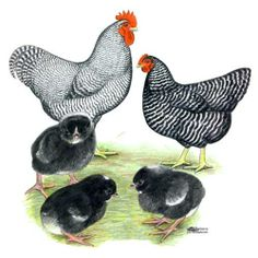 Barred Plymouth Rock Chickens: year round layers, cold hardy