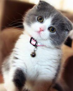 (My angel kitty zuzu previous pinner)) Adorable Scotish Fold Kitten ♡