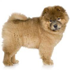 Il Chow Chow è un cane maestoso, elegante e molto composto. Tranquillo ed equilibrato, è indipendente e coraggioso e non ama stare in ambienti confusionari.