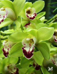 Pistachio Green Cymbidium Orchid. Another gorgeous flower my Oma grows in her backyard. <3