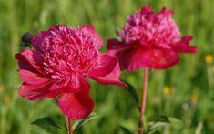 Paeonia lactiflora 'Nippon Parade' - Edel-Pfingstrose