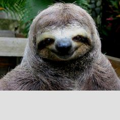 Sloth love. I simply cannot die happy until I snuggle a sloth.