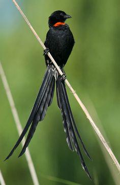 thalassarche:  Red-collared Widowbird (Euplectes ardens) - photo by Mark Scott-Parkin
