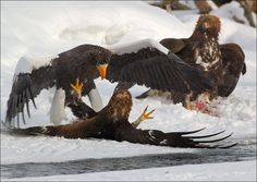 """A classic fight scenario between a Steller""""s Sea eagle and golden eagles over fish. Steller's sea eagles are larger & stronger, and they're the ones who are capable to catch fish. However, they often lose it to golden eagles because golden eagles seem to have much more courage & fight as a group. While one of them is fighting with a righteous owner of fish the others get it. Just as pictured on this photo. Photo credit: Igor Shpilenok  Read full story in Russian here: <a href=""""http://shpi..."""