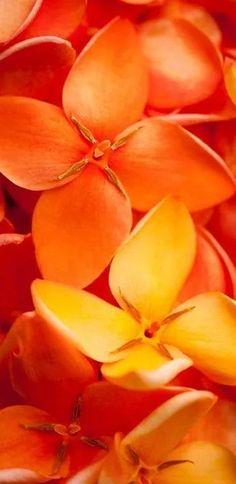 orange.quenalbertini: Orange flowers