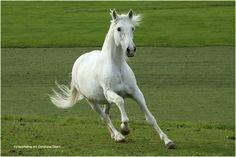 white horse / Andrea A. S.