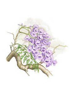 jacaranda - exquisite botanical painting, davidmackay.com.au