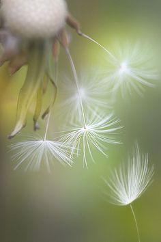 Dandelion Photography