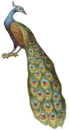 Dover Sample   Victorian Bird Illustrations