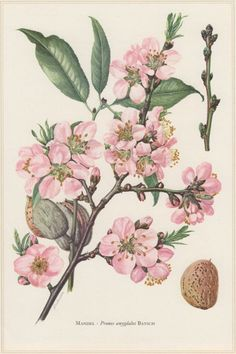 1960 Vintage Botanical Print Almond Tree Prunus by Craftissimo Botany Illustration, Gravure Illustration, Illustration Botanique, Floral Illustrations, Vintage Botanical Prints, Botanical Drawings, Vintage Prints, Botanical Flowers, Botanical Art