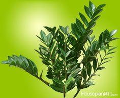 ZZ Plants make great office plants and houseplants but are poisonous. Zz Plant Care, House Plant Care, Low Light Plants, Plant Information, Unique Plants, Office Plants, Outdoor Plants, Tropical Plants, Growing Plants