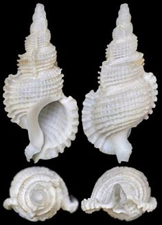 Phyllocoma scalariformis (Broderip, 1833)