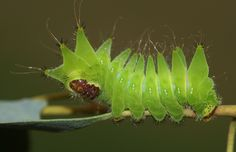 African moon moth (Argema mimosae) caterpillar, fourth instar