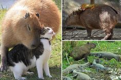 Heartwarming pictures capture giant rodent capybaras cuddling up with cats, monkeys and even crocodiles