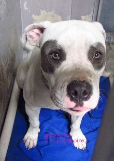 A4773286 my name is Patches. I am a very friendly 2 yr old neutered male white/gray pit bull mix. I came to the shelter as a stray on Nov 5. available 11/10/14 Baldwin Park shelter Open for Adoptions 7 days a Week 4275 Elton Street, Baldwin Park, California 91706 Phone 626 430 2378 https://www.facebook.com/photo.php?fbid=871067796238392&set=a.705235432821630&type=3&theater