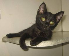 Fina - 3 month old, spayed female, domestic short hair mix,ID# 070114