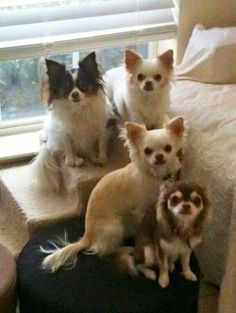I Love Dogs, Puppy Love, Cute Dogs, Chiwawa, Chihuahua Puppies, Chi Chi, Cute Baby Animals, Dog Pictures, Pet Birds