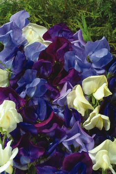 Sweet Peas are fragrant. 'Ocean Foam' is a heat resistant blend of light blue and dark blue shades with creamy colors for contrast.