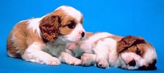 A jigsaw puzzle you can play online: Two Puppies