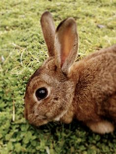 my eastern cottontail coco