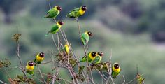 Yellow-collared Lovebird (Agapornis personatus), also called Masked Lovebird or Eye Ring Lovebird in Tarangiri National Park Tanzania africa. Tanzania, Kenya, African Lovebirds, Tropical Birds, Black Mask, Cockatoo, Parakeet, Bird Species, Love Birds