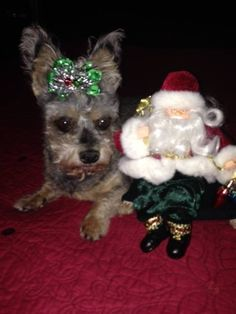 Kiki wearing her newest Christmas bow!