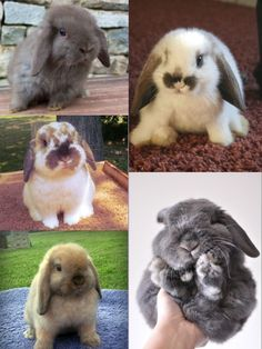 Holland Lop bunnies, such sweet faces.