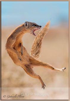Yellow Mongoose-Kalahari  - Nature