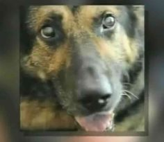 Remembering A Hero From 9/11: Trakr The Dog  ... from PetsLady.com ... The FUN site for Animal Lovers