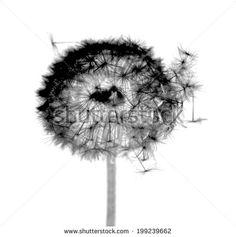 dandelion, black and white photo