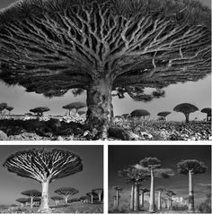 "Surreal black-and-white glimpses of timelessness by photographer Beth Moon         ""There are few places left on earth so remote and untouched by time. Socotra is one of the world's last truly wild places with a uniquely diverse and enchanting landscape of surreal beauty.""  http://exp.lore.com/post/25514042740/surreal-black-and-white-glimpses-of-timelessness"