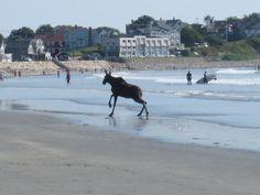 A surfing moose on York Beach, Maine