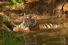 (via 500px / Tiger cooling off by Rohit Varma)