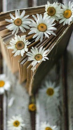 Ideas wallpaper celular flores margaritas for 2019 Happy Flowers, Flowers Nature, White Flowers, Beautiful Flowers, Sunflowers And Daisies, Daisy Love, Flower Backgrounds, Something Beautiful, Gerbera