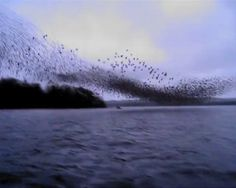 A murmuration... of starlings. Click thru for an extraordinary vid of massed movement... amazing.