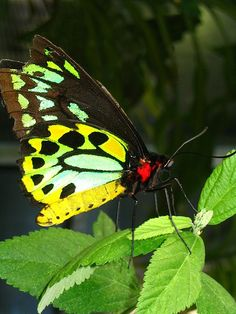 cairns birdwing butterfly   Flickr - Photo Sharing!