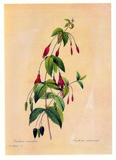 REDOUTE FUCHSIA MAGELLANICA Vintage Botanical Print Antique plant print 224 botanical bookplate art $5.00  print herb plants plant wall print