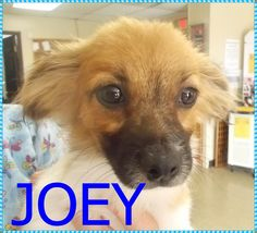 Petfinder  Adoptable | Papillon | Dog | Decatur, IL | Joey