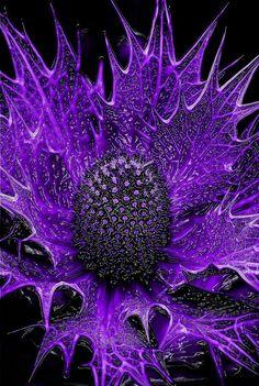 ~~Alien Plant Life 01 ~ abstract purple Eryngium maritimum, commonly known as sea holly by Carl Thompson~~ Purple Love, All Things Purple, Shades Of Purple, Deep Purple, Purple Flowers, Purple And Black, Purple Colors, Purple Stuff, Unusual Flowers
