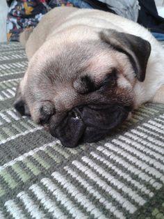 Adorable sleepy pug puppy