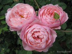 The Alnwick Rose ™ cm Alnwick Castle, David Austin Roses, English Roses, All Flowers, Flourish, Shrubs, Planting Flowers, My Favorite Things, Garden