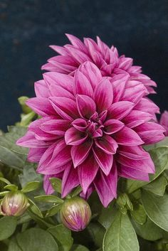 Dahlia by DeeDeeBean All Flowers, Exotic Flowers, Amazing Flowers, Beautiful Flowers, Dahlia Flowers, Wedding Flowers, Roses, Herbaceous Perennials, Pink Perennials