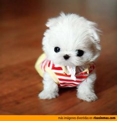 Kittens Puppies and Cupcakes: Super-Tiny Baby Teacup Maltese Puppy!Tap the link to check out great cat products we have for your little feline friend! Cute Puppy Pictures, Animal Pictures, Funny Pictures, Random Pictures, Amazing Pictures, Dog Pictures, Cute Baby Animals, Funny Animals, Wild Animals