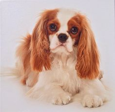 My Archie Cavalier King Charles