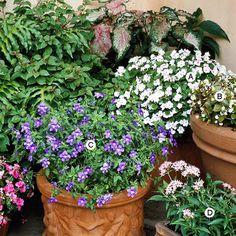 Browallia (C) with Impatiens (A), Begonia (B) and Pentas (D), via bhg.com
