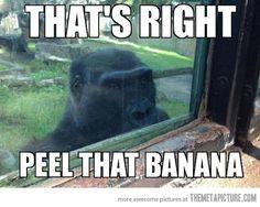 Stalker gorilla…