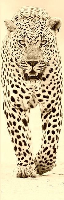 Leopard: Actually I do know Shinola.....                                                                                                                                                      Plus