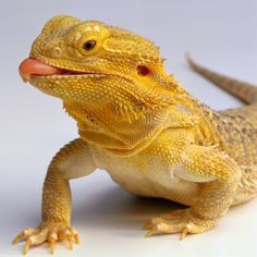 Bearded dragons (or beards) are a type of lizard native to Australia. Their resume includes sleeping all day, partying all night, and dive-bombing for crickets. Dragon Pet, Bearded Dragon Habitat, Bearded Dragon Cage, Animals Images, Animal Pictures, Cute Animals, Wild Animals, Cute Reptiles, Reptiles And Amphibians
